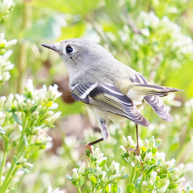 Small gray and olive songbird moving fast over a flowering shrub