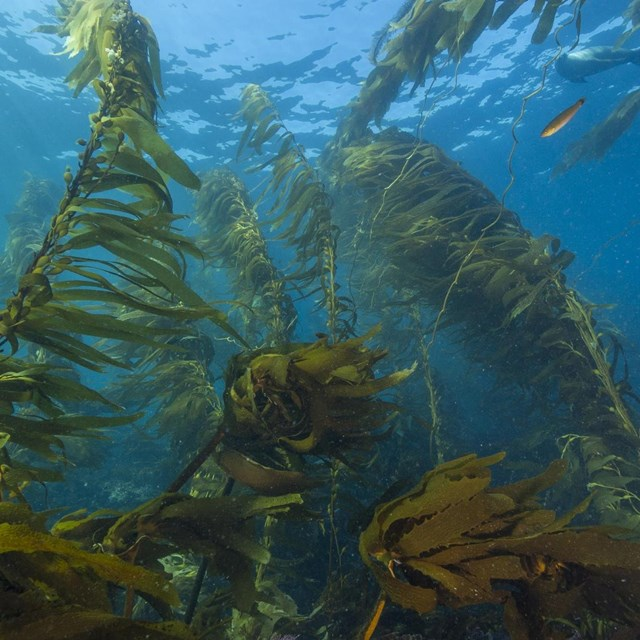 Looking up through a giant kelp forest teeming with fish