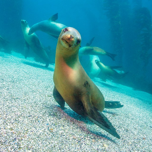 Sea lions underwater, including one looking right at the camera, with kelp forest in the background