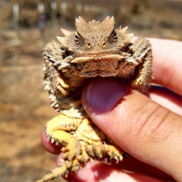 Blainville's horned lizard, a small spiky reptile with a wide, flat body, in a person's hand