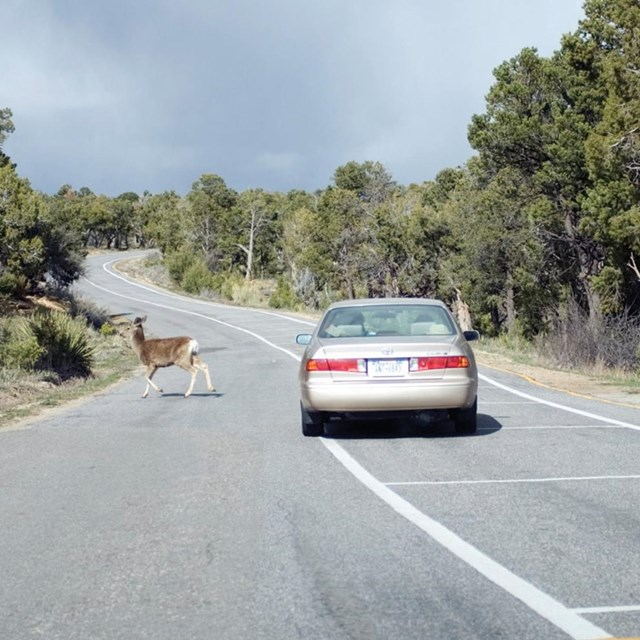 Deer on roadway with a vehicle slowly moving toward it.