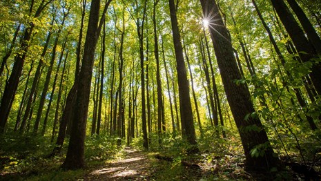 The sun shines through towering poplar trees along a trail.