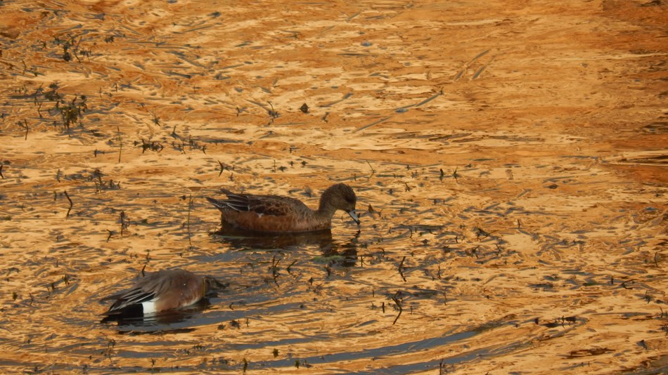 Two ducks floating in Montezuma Well