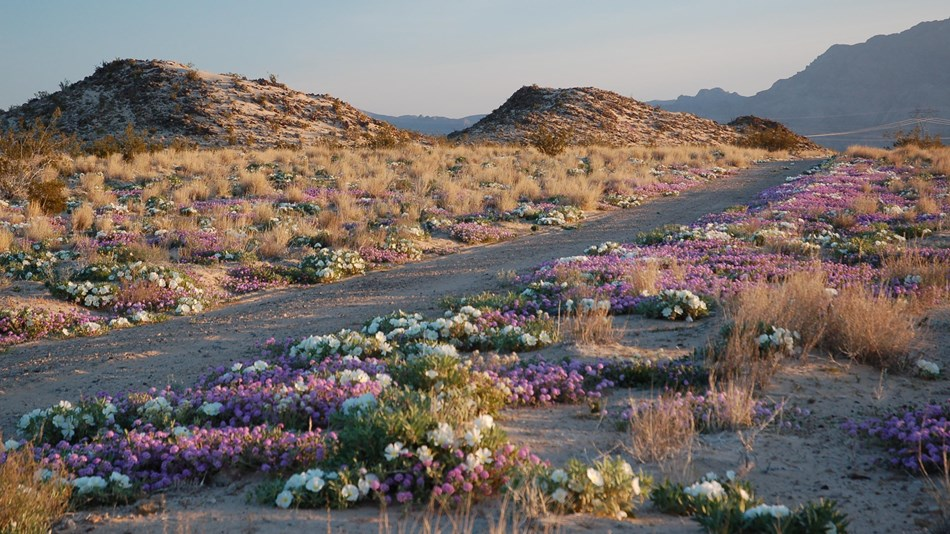 Desert road bounded by fields of wildflower blooms