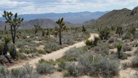 The Mojave Road passes creosote, Joshua Trees, and hills.