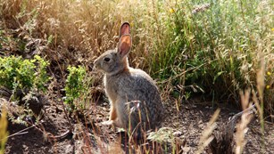 A rabbit sits, ears erect, surrounded by brush.