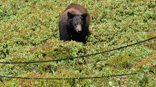 A bear grazes in a meadow near ropes that mark off the edge of a trail.