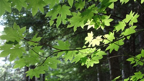 Bright green maple leaves on a branch against a dark forest.
