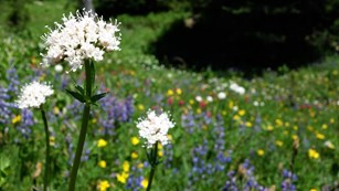 White sitka valerian blooms against a kaleidoscope of different colored flowers in a meadow.