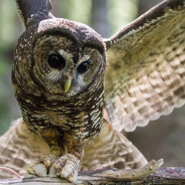 An owl with wings spread clutches a mouse in its talons.