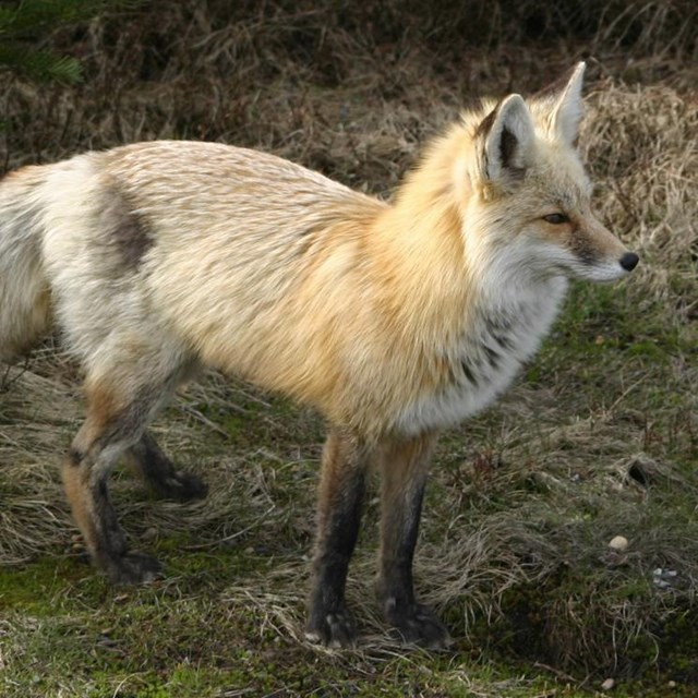 A red and grey fox.