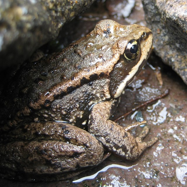 A brown frog with yellow markings sitting under a rock.