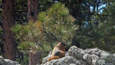 A yellow-bellied marmot enjoys some morning sun on a granite outcrop.
