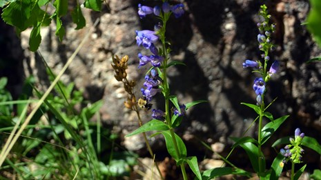 A bee pollinating a sawsepal penstemon at Mount Rushmore