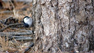 A white-breasted nuthatch near the base of a ponderosa pine tree.