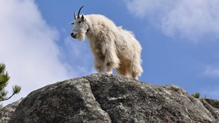 A mountain goat standing on a large granite outcrop.