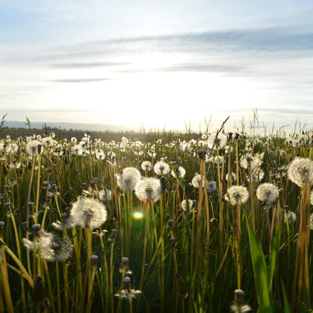 a field of dandelions that have gone to seed