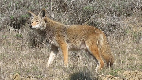 coyote looking into the distance on a hillside