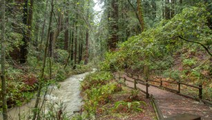 Redwood Creek at Main Trail in Muir Woods National Monument