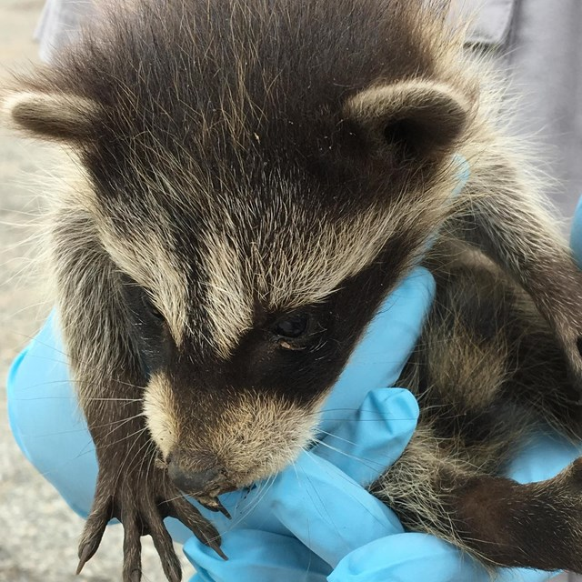Hands holding a raccoon