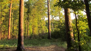 Sun is setting on trail with green grass and tall pine trees on either side of trail.