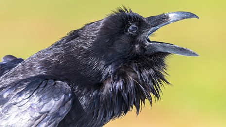 Close up of a raven cawing