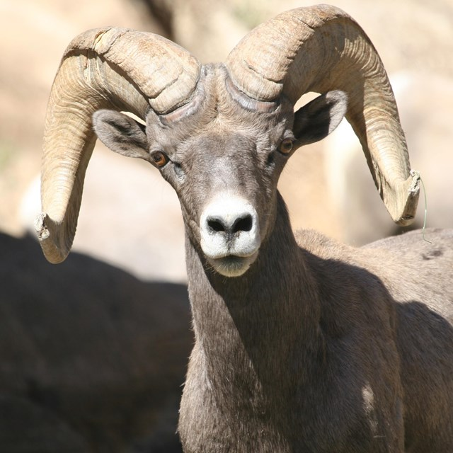 Desert bighorn sheep with curled horns looking directly ahead