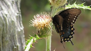 swallowtail butterfly on yellow thistle