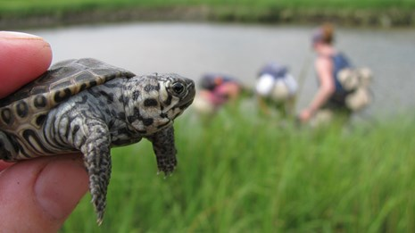A young diamondback terrapin at Gateway National Recreation Area
