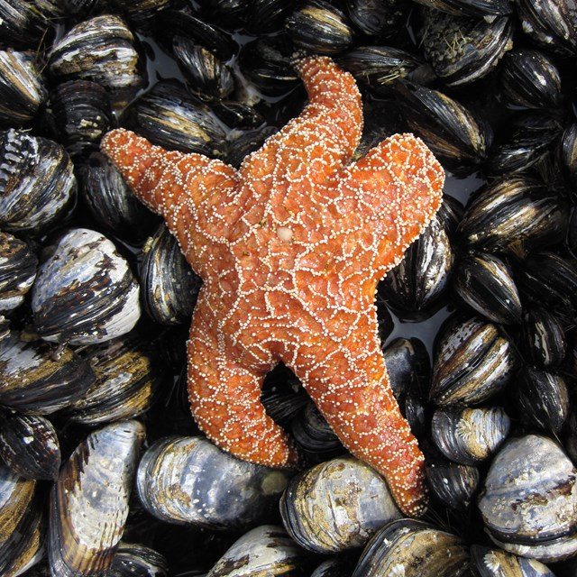 seastar in the intertidal zone