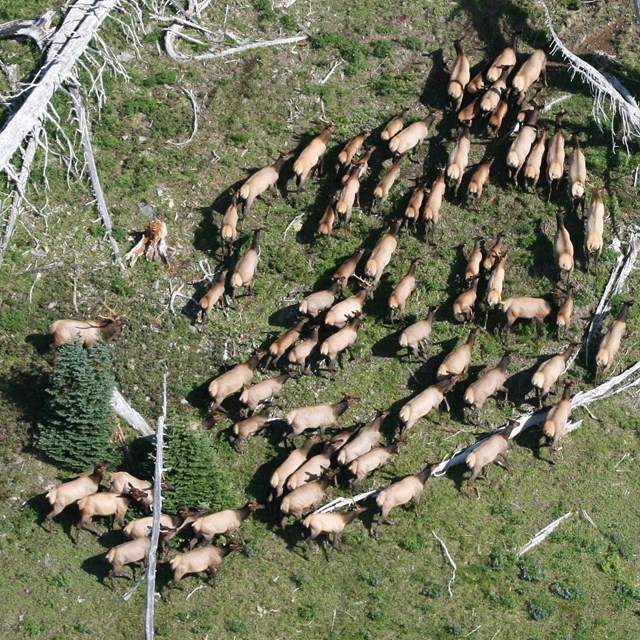 Roosevelt elk viewed from a helicoptor