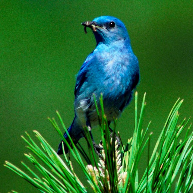 Mountain bluebird sits at top of pine tree