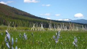 Tipi poles site in a field of purple blooming flowers with snow capped mountains in the distance.