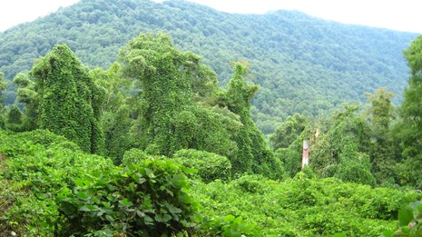 invasive kudzu plants