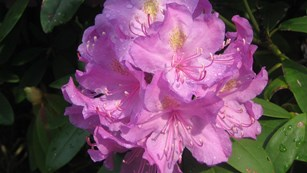 close-up of rhododendron flower