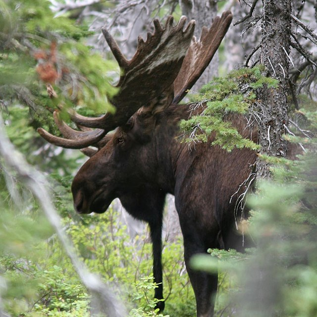 A large bulls moose stands in a spruce forest.