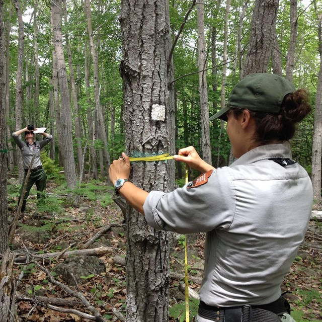 Hale Morrell and Camilla Seirup sampling trees in Acadia National Park. NPS photo.