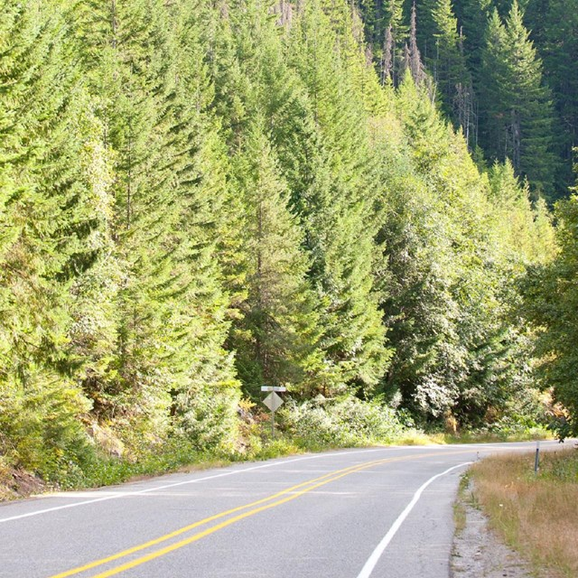 A paved road lined with coniferous trees.