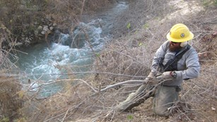 A man pulling invasive plants from the bank of a river