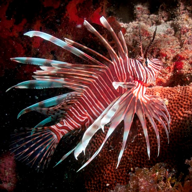 Invasive lionfish swimming near a reef