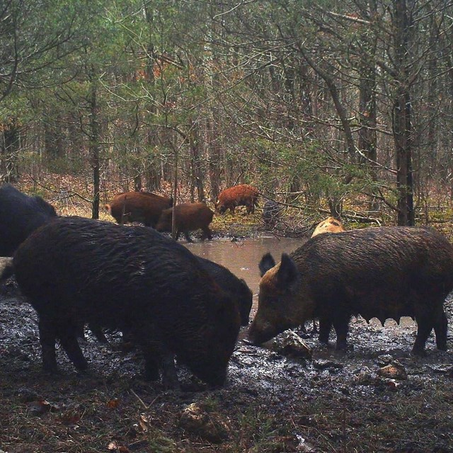 Feral pigs wallowing in the mud