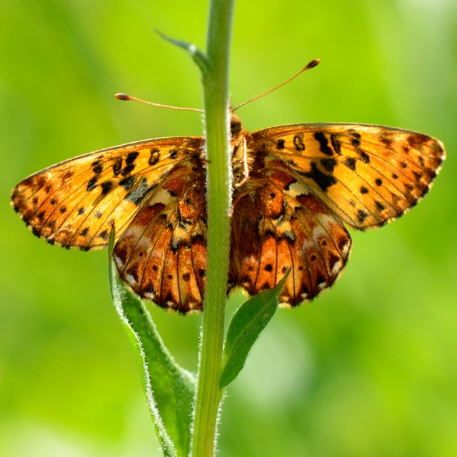 Arctic fritillary butterfly on a plant stem