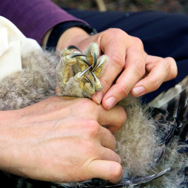 Hands holding the clenched feet of an owl