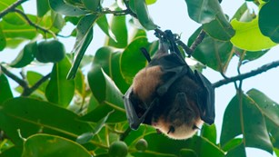 The pe'a (fruit bat) roosts during the day
