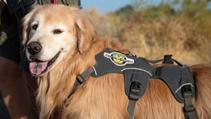 Dog in a service animal vest
