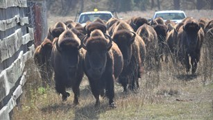 Herd of bison being corralled by trucks