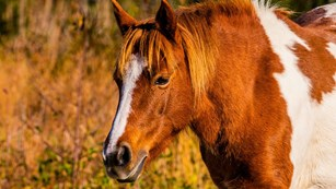 Brown and white pony in golden grasses