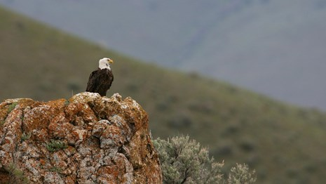 Bald eagle perched on an outcrop over a valley