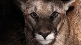 Face of a mountain lion