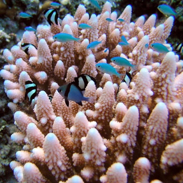 tiny blue fish swimming above pink coral.